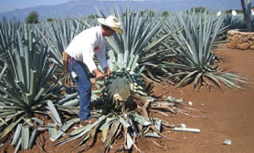blue agave cactus tequila